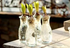 How-To: Spring Bulbs in Weck Jars