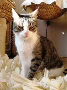 Flakis geboren december 2011. Flakis kan met andere katten mits ze niet te zelfverzekerd zijn. Met honden gaat het ook prima. Kinderen is hij niet gewend. In het begin is hij wat terughoudend, maar daarna loyaal. Flakis krijgt om de dag 1/4 tabletje (in een snoepje) voor een aandoening aan zijn voetzooltjes(auto immuunziekte). De kosten van de medicatie bedragen ong. 15 euro per jaar (2,15 per maand). Verder vindt hij het lekker om af een toe een frisse neus te halen.