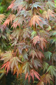 Dwarf Japanese Maple, Dwarf Conifers, Garden Trees, Variegated Plants, Foliage Plants, Japanese Garden, Trees To Plant, Ornamental Plants, Japanese Maple Tree