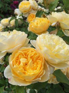 'Charlotte' | Shrub.  English Rose Collection. Bred by David C. H. Austin (United Kingdom, before 1992)
