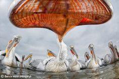 Pelican perspective - Bence Máté - Wildlife Photographer of the Year 2011 : Eric Hosking Portfolio Award - Winner