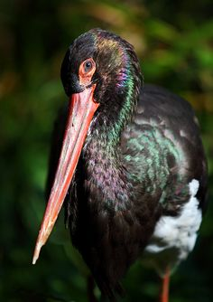 The Black Stork - there is only one pair living in Polish part of the Tatra Mountains.