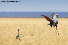 The courting cranes of Etosha - Andoni Plains