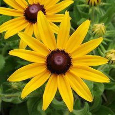 This quick growing and fast blooming wildflower is a North American Classic. Rudbeckia hirta is an upright, clump-forming biennial which typically grows 2-3' tall. Features large, daisy-like flowers (