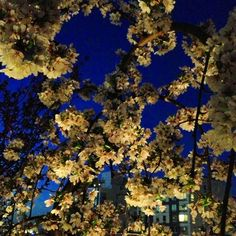 Evening Japanese Cherry Blossoms