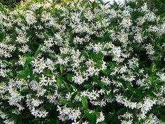 Foto: Toscaanse Jasmijn, mooie alternatieve klimmer ipv Hedera. Bloeiend en geurend van juni - oktober. Trachelospermum jasminoides is een wintergroene klimplant met witte, geurende bloemen. Hij groeit het liefst op een plek in de volle zon.groeit graag tegen een warme, zonnige muur of schutting. Een stuk gaas of trellis biedt ze genoeg steun. Op een ideale plek kan de plant uitgroeien tot 5 m hoog en breed. . Geplaatst door Marjorie op Welke.nl