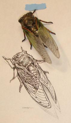 """""""Cicada.""""  Scientific illustration by Aaron Horkey."""