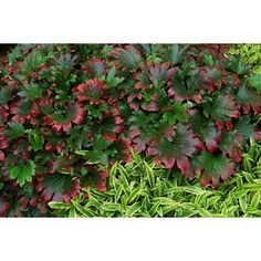 Quart Red-Leafed Mukdenia evergreen- a lush and colorful ground cover