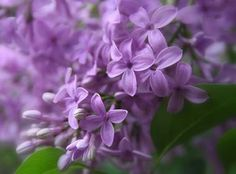 New Hampshire designated the purple lilac as the official state flower in 1919. The apple blossom, purple aster, wood lily, mayflower, goldenrod, wild pasture rose, evening primrose and buttercup were all considered, but the purple lilac was chosen because it symbolizes the hardy character of the men and women of the Granite State.