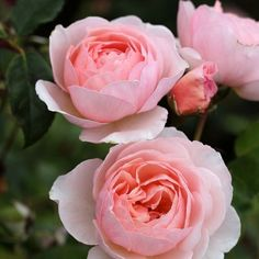 Heritage  Flowers are medium-sized of perfect form, prettily cupped in shape and of a soft pink colour. Flowers repeatedly and regularly with a strong fragrance. The growth, though relaxed at first, soon builds into a good bushy shrub. 1.2m tall.