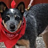 Pictures of Bandit a Australian Cattle Dog for adoption in Tinley Park, IL who needs a loving home. Tinley Park Illinois, Cute Puppies, Dogs And Puppies, Dog Rules, Puppy Breeds, Australian Cattle Dog, Rescue Dogs, Dog Training, Pet Adoption