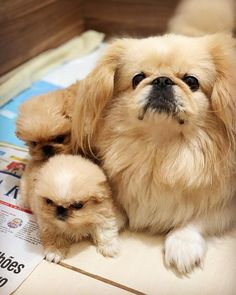 Tabata, Cute Puppies, Cute Dogs, Animals And Pets, Funny Animals, Pekinese, Pekingese Dogs, Japanese Chin, Dogs Of The World