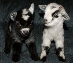 Baby goats!!!!!!!!!! They look so sweet!!!! I want one so bad!!!!