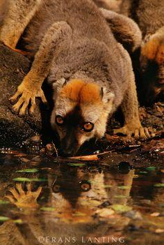 Frans Lanting - Red-fronted brown lemur drinking, Eulemur rufus, Madagascar