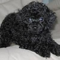 Toy poodle. Looks like my Chloe!