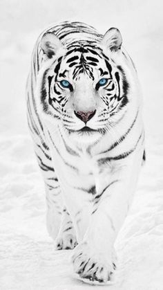 Animals Discover White Tiger wallpaper for mobile Tiger Wallpaper Animal Wallpaper Tigre Animal Animals Beautiful Cute Animals Animals Amazing White Bengal Tiger Tiger Pictures Pet Tiger Tier Wallpaper, Animal Wallpaper, Majestic Animals, Animals Beautiful, Animals Amazing, Beautiful Creatures, Tiger Fotografie, Tiger Spirit Animal, White Bengal Tiger