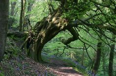Beech tree in Hackfall wood, Yorkshire. via Photography of England FB