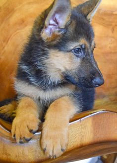 Luke Milani. Denise Milani's german shepherd puppy. #DeniseMilani #LukeMilani #gsd #germanshepherd #puppy #gsdpuppy #germanshepherdpuppy