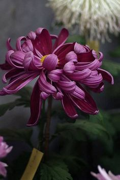"mistymorrning: ""(via (JPEG Image, 490 × 732 pixels) - Scaled "" All Flowers, Exotic Flowers, Beautiful Flowers, Japanese Chrysanthemum, Japanese Flowers, Flower Photos, Botanical Art, Flower Art, Planting Flowers"