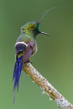 "The ""Wire-crested Thorntail"" is a hummingbird which occurs in Colombia, Ecuador and Peru. This species is one of the smallest birds on Earth, with a mature weight of around 2.5 g."