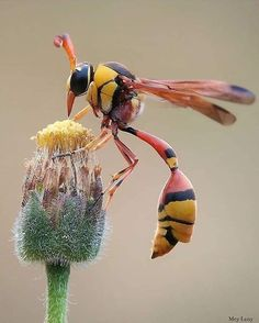 Yellow Potter Wasp looks out of this world (credit: Mey Lany) - insects Cool Insects, Bugs And Insects, Reptiles, Mammals, Animals And Pets, Cute Animals, Yellow Animals, Insect Photos, Cool Bugs
