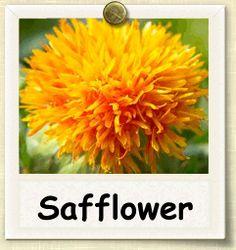Non-hybrid Safflower growing guide.