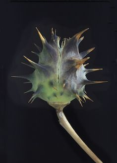 Lyrical Gallery Featuring Bisbee's Fine Artists and Artisans Weird Plants, Unusual Plants, Planting Seeds, Planting Flowers, Black Background Photography, Fotografia Macro, Nature Plants, Seed Pods, Patterns In Nature