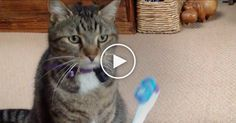 This tabby cat has never seen an electric toothbrush before, so when his owner turns it on, the kitty gets very interested...  He first sniffs it and then instantly decides, I do NOT like this weird moving thing! So of course the paw comes out and he starts whacking it.  LOL, who knew cats didn'