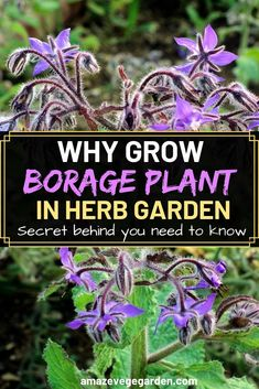The borage plant isn't as well- known as many other herbs, but it deserves to . - The borage plant isn't as well- known as many other herbs, but it deserves to be considered as a - Veg Garden, Edible Garden, Indoor Garden, Gardening For Beginners, Gardening Tips, Growing Herbs In Pots, Gemüseanbau In Kübeln, Small Herb Gardens, Garden Catalogs