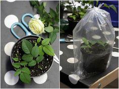 Att ta sticklingar från rosor är inte svårt, bara roligt! Du kan få ut flera stycken från en endaste liten planta, och på en sommar kan de små pinnarna växa till sig till små buskar om du planterar ut dem... Läs mer här