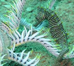 A Monte Bello Seahorse holding onto a crinoid. The photograph was taken on a sandy bottom at a depth of 13 m, Port Hedland, Western Australia, 2011. This is probably the first Monte Bello Seahorse photographed alive. - See more at: http://australianmuseum.net.au/image/Monte-Bello-Seahorse-at-Port-Hedland/#sthash.yywngqeN.dpuf