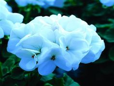 Geranium Seeds Saturn White Lightning 15 flower seeds #GeraniumSeeds