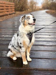 Cute Baby Dogs, Cute Dogs And Puppies, Baby Puppies, Cute Baby Animals, I Love Dogs, Funny Animals, Corgi Puppies, Doggies, Australian Shepherd Husky