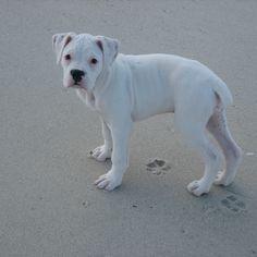 "Someday...a little white boxer named ""Lilikoi"" as a sister to Neme :)"
