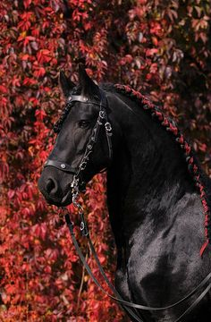 Ribbon in a Friesian's running braid! Lovely. #horse #horses #braids #braiding #runningbraid #friesian