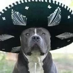 Pitbull wearing a sombrero, for the win!