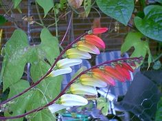 """Spanish Flag, Firecracker Vine, Exotic Love Vine Ipomoea lobata.  This unusual annual vine has up to 12 beautiful 2"""" tubular flowers on each spike, that change color as they enlarge and open from crimson red to yellowy-orange to creamy yellow. The leaves may remind you of sweet potato vine.It's easy to grow, and excellent on a trellis, fence or in a hanging basket. Also makes a great cut flower.I didn't realize this plant attracted hummingbirds until today."""