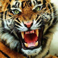 Tiger   Very cool photo blog