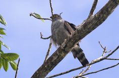 https://flic.kr/p/nUe6Sc | Harpagus diodon | Milan diodon, Ruffous-thighed Kite. The first bird seen in French Guiana since the 1990s. Believed to be an austral migrant.