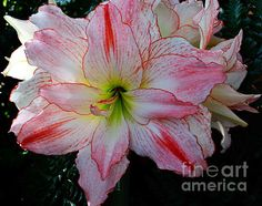 This is a Amaryllis flower.