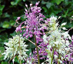 Violet-Pink and White Allium carinatum Mix - White Flower Farm