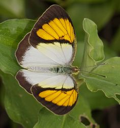 Striped Albatross(Appias libythea) is a small butterfly of the Family Pieridae, that is, the Yellows and Whites, which is found in India and Peninsular Malaysia.