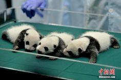 Panda triplets.