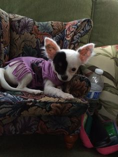 My friend gave me the cutest chair for my new tiny chihuahua. She's 5 months.