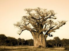 Have you lost your heart to a baobab lately? Giant Tree, Big Tree, Weird Trees, African Tree, Anima Mundi, Baobab Tree, Tree Logos, Beautiful Forest, Out Of Africa