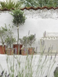 Potted olive trees & concrete