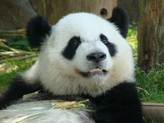 This is Xi Lan, aka Da Stuffie, from Zoo Atlanta. He is 33 months old and drop dead handsome like his parents Lun Lun and Yang Yang! Animals Beautiful, Cute Animals, Atlanta Zoo, Panda Bears, How To Look Handsome, Zoos, Yang Yang, Animal Kingdom, Georgia