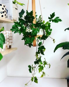 Top 10 Hanging Indoor Plants Tropical Plants, Hanging Pots, Hanging Baskets, Wet Water, Golden Pothos, Green Bubble, Plant Needs, Low Lights