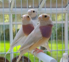 Rare Silver Lady Gouldian Finch