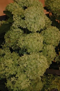 Click to view full-size photo of Little Lime Hydrangea (Hydrangea paniculata 'Little Lime') at Bachman's Landscaping